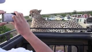 Download Cheetah on jeep, face to face, Masai Mara, Kenya Jukin Media Verified (Original) Video