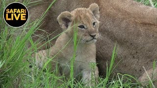 Download safariLIVE - Sunrise Safari - January 10, 2019 Video