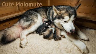 Download Alaskan Malamute giving birth to six puppies Video