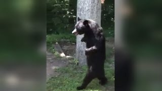 Download Bear Who Walks On Two Legs Is Back To Strolling Around The Neighborhood Video