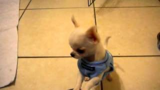 Download Tiny chihuahua puppy does not like his sweater Video