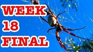 Download Redback Spider Deadly Bush Surprise & Giant Golden Orb Week 18 FINAL Video
