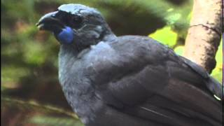 Download New Zealand Birds - Endangered and Extinct. PART 1. Video