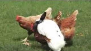 Download RABBIT VS CHICKEN Video