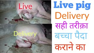Download Pig live delivery piglet Pig farm in india Video