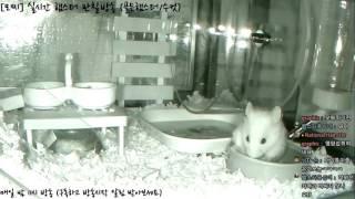 Download [모찌Live/햄스터] 실시간 햄스터 관찰 방송 Hamster Live #16-12-14 Video