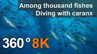 Download 360 video, Among thousand fishes. Diving with Caranx. 8K Underwater video Video
