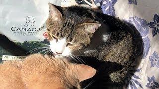 Download 金曜日ですがお母ちゃんお休み🎵猫とまったり【猫日記こむぎ&だいず】2018 01 12 Video