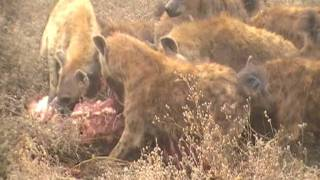 Download Lion Having Lunch Video