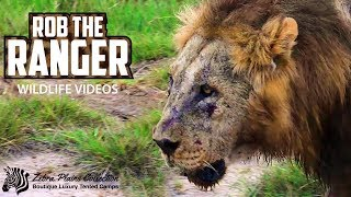 Download Lions Of Amboseli National Park | Zebra Plains Safari Video