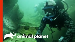 Download Face-to-Face with a 20-Foot, Monster Anaconda | River Monsters Video