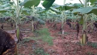 Download Tham Quan Vườn Chuối Tây Nuôi Cấy Mô - CayTrong.vn - 090.727.43.43 Video