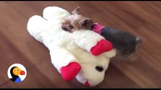 Download Tiny Dog Picks Out Biggest Toy In The Pet Store | The Dodo Video