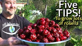 Download 5 Tips How to Grow a Ton of Rosella in One Raised Garden Bed Video