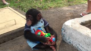 Download Baby Chimp doesnt want to share his toy Video