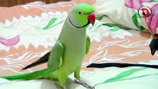 Download Sammy-The talking Indian Ring-neck parrot Video