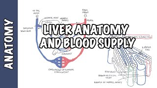 Download Liver Anatomy and Blood Supply Video