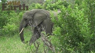Download WildEarth - Sunrise Safari - January 22, 2020 Video