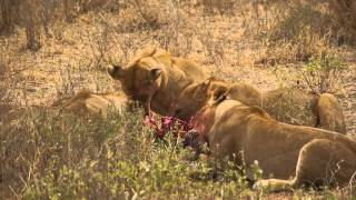Download 5 Lions Kill a Young Zebra - Selous Game Reserve, Tanzania, Africa Video