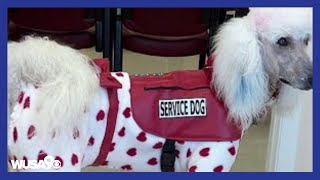 Download Fake service dogs are becoming a problem Video