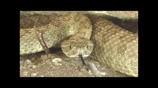 Download Making a Rattlesnake Hat Band From Snake to Hat Band Video