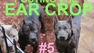 Download dog puppy ear crop posting after surgery cut ears pitbull doberman dogo boxer presa Video