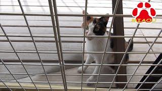 Download 朝起きたらベランダに猫が居た【瀬戸の三毛猫日記】 Video