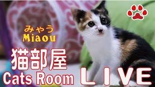 Download 猫部屋ライブ映像 Cats & Kittens room 【Miaou みゃう】 Video