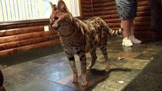 Download 6 African Servals Rescued! Video