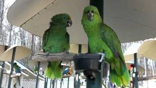 Download Yellow-Naped Amazon Parrots Talking like an Old Married Couple. Video