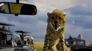 Download Cheetah on the Hood of Our 4x4; Masai Mara, Kenya Video
