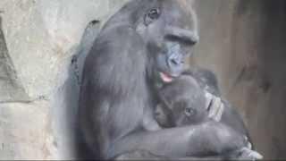 Download Ebo, el primer gorila nacido en BIOPARC Valencia, cumple 3 años (compilación vídeos) Video