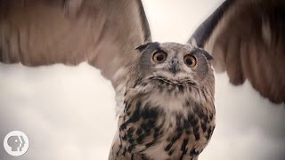 Download What Makes Owls So Quiet and So Deadly? | Deep Look Video