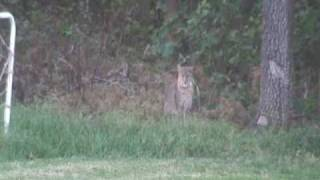 Download Big Cats In Our Backyard Oct 2007 Edmond Oklahoma Video