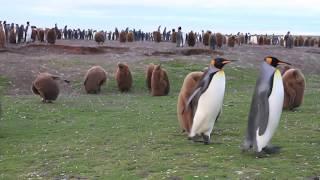 Download Penguins: A Treasure of the Falkland Islands Video