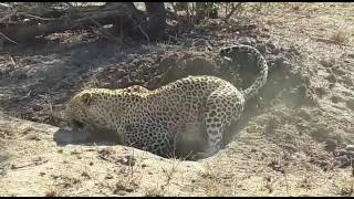 Download Leopard digging out a warthog Video