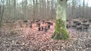 Download Une tr�s grosse compagnie de sangliers . Video