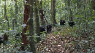 Download Violent chimpanzee attack - Planet Earth - BBC wildlife Video