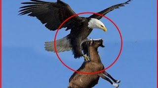 Download Giant Eagle throws a Goat alive from the sky - Eagle vs Goat Video