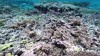 Download Steve Palumbi and Megan Morikawa Study Coral Reef Damage in American Samoa Video