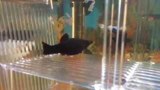 Download Molly negra pariendo 30 alevines Video