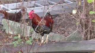 Download Vogelgrippe Stallpflicht für Gefügel Video