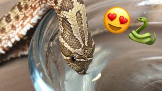 Download It's Adorable When A Snake Drinks Water! Video