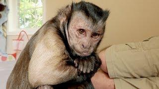 Download Capuchin Monkey Grape Drama Video