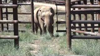 Download Musical Elephants II: Moving Nicholas to a New Barn Video
