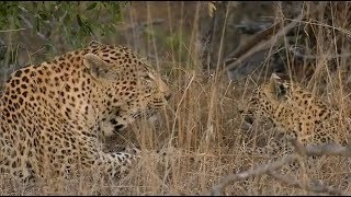 Download SafariLive Aug 21- No way! Leopard cub Tlalamba with mom and dad! Video