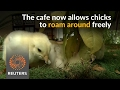 Download Chicks roam free as customers dine at Taiwan cafe Video