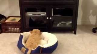 Download Henry the cavapoo puppy barking at his reflection Video