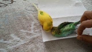 Download Muhabbet Kuşu Ölen Eşini Bırakmıyor !!! Video
