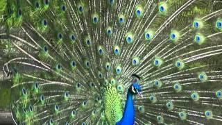 Download vanità di vanità - angelo branduardi Video